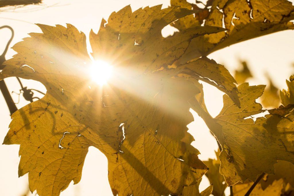 Sonnenstrahlen blicken durch das Herbstlaub der Reben