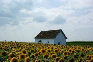 Presshaus hinter Sonnenblumenfeld